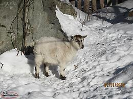 Male Pygmy Goat for sale