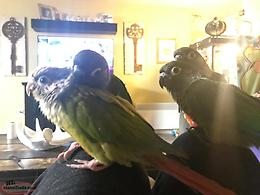 Hand raised cinnamon greencheek conure