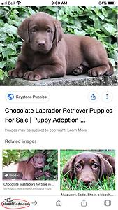 Looking For A Lab Puppy