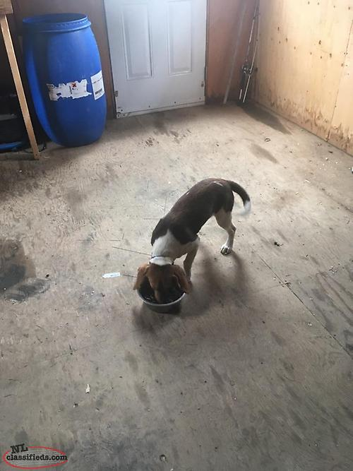 Dogs, Puppies & Supplies for Sale | NL Classifieds