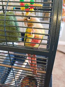 pineapple conure and cage