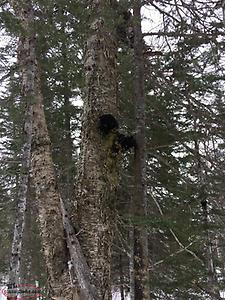 Locally harvested Chaga for sale