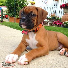 Male Boxer puppy wanted